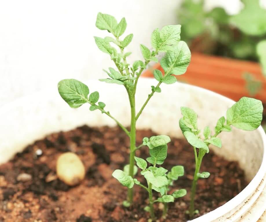 Read more about the article When Is Potato Growing Season?