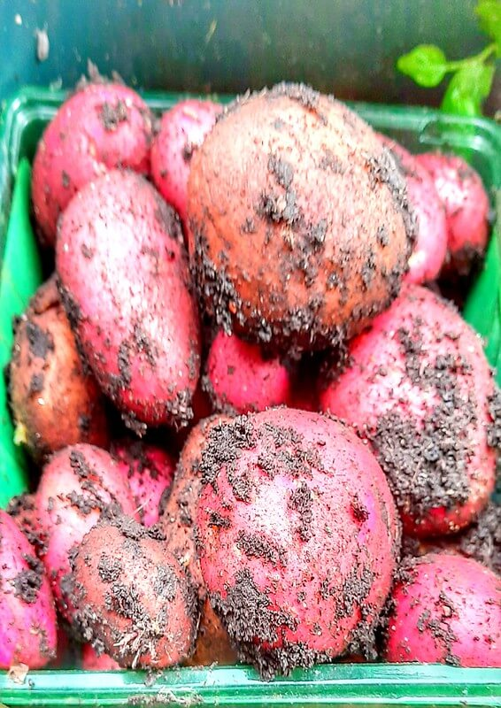Read more about the article Are Potatoes Easy To Grow?