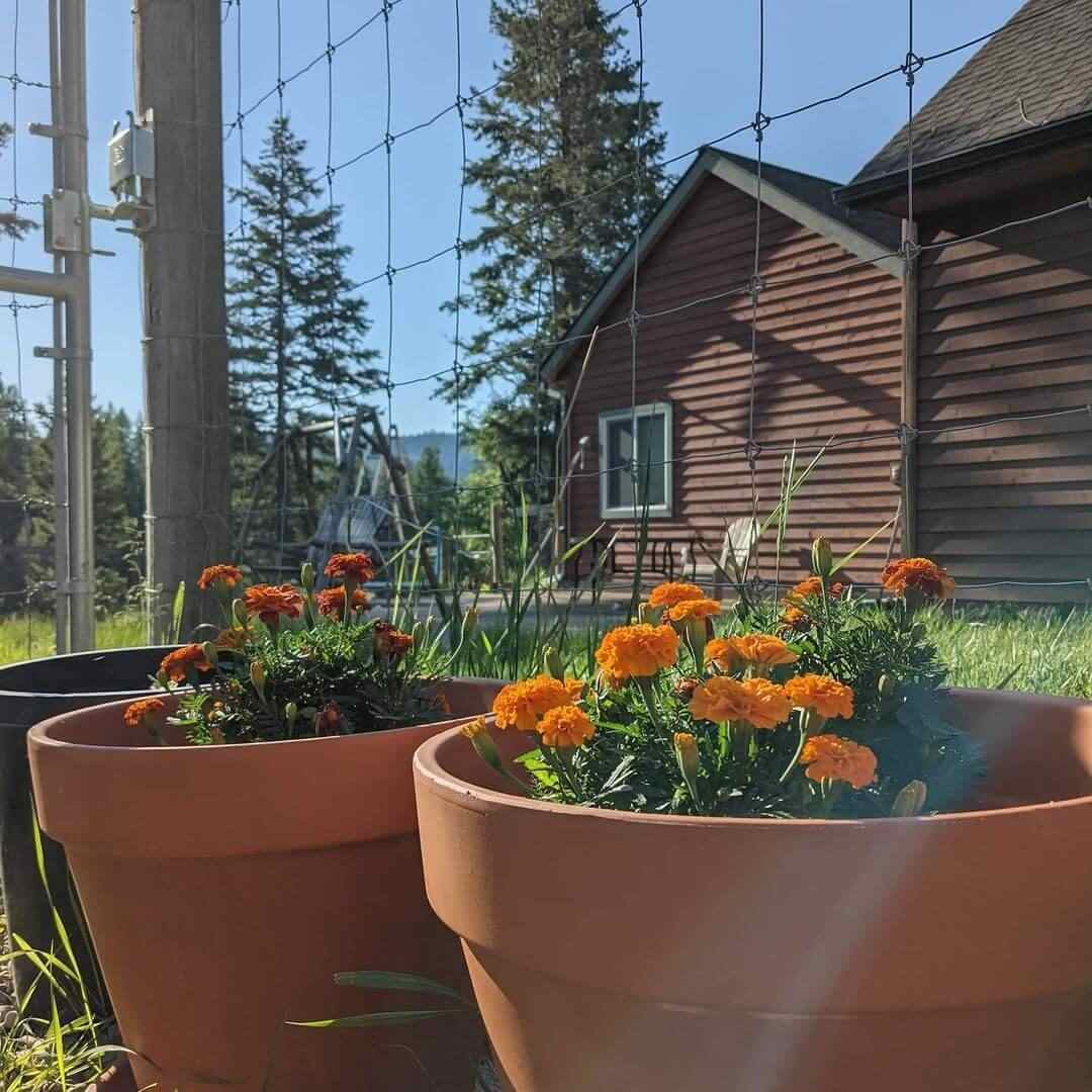 Read more about the article How To Take Care Of Marigolds